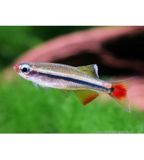 Tetra Kardinal (White Cloud Mountain Minnow) 1 Ad 1.5-2 Cm