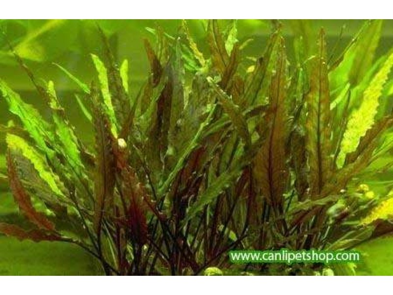 Cryptocoryne Walkeri 4 kök