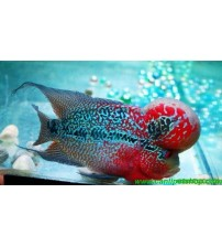 Flower Horn Ciklet 1 Ad Red Dragon 25-30 Cm
