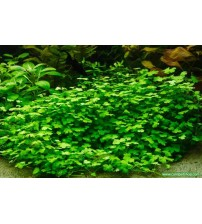Hydrocotyle sp. 'Japan 20-30 Kök