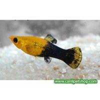 Molly Gold dust 1 Ad 3-4 Cm