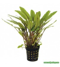 Cryptocoryne Petchii  2 Ad
