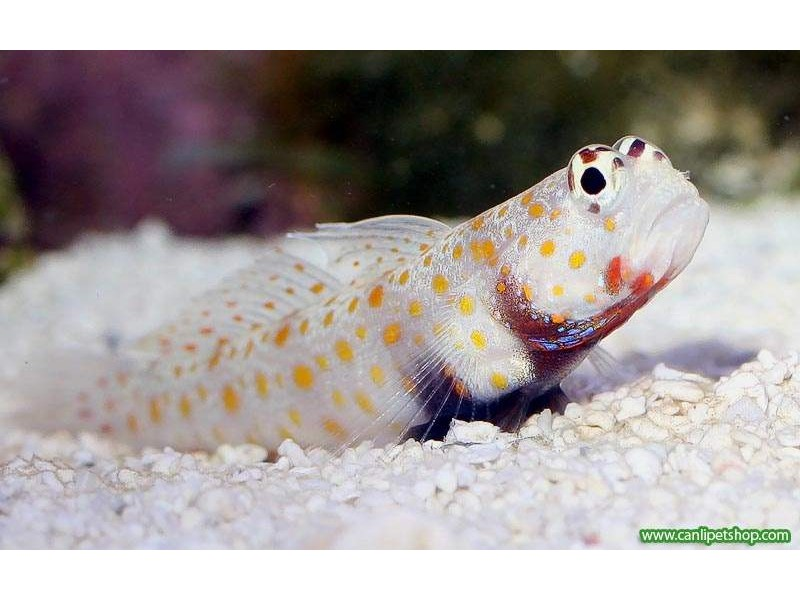 Portakal Goby 1 Ad 5-7 Cm