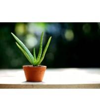 Aloe Vera Bitkisi 1 saksı