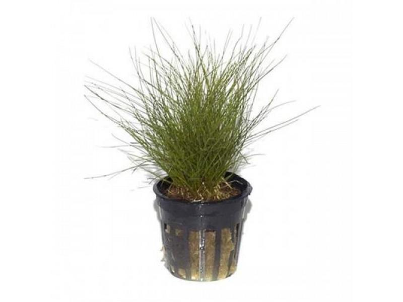 Parvula  Zemin bitkisi 1 saksı Mini