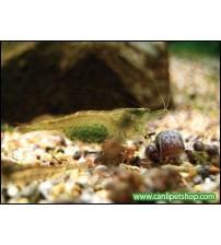 Yeşil Karides (Neocaridina Heteropoda ) 10 Adet