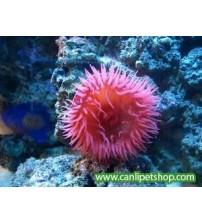Deniz Domatesi 1 Ad Tuzlusu Canlısı
