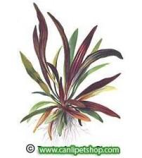 Echinodorus Rubin 1 Ad