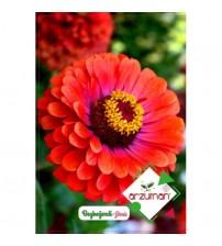 Beybeğendi Çiçeği Tohumu (Kirli Hanım Çiçeği) 30 adet