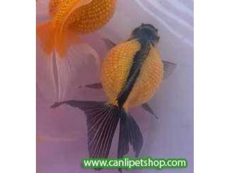 Japon Balığı İnci Gövde Oranda Kırmızı-Siyah 1 Adet 5-7 Cm