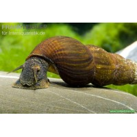 Rabbit Snail Salyangoz Orange Spotted 1 Ad