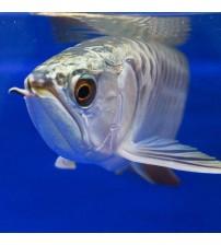 Gümüş Arowana balığı 13-16 Cm