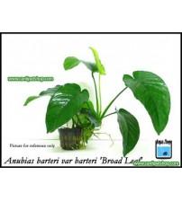 Anubias Barteri Broad Leaf 1 Ad 20 Cm