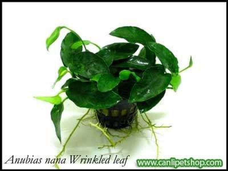 Anubias barteri 'Wrinkled leaf'