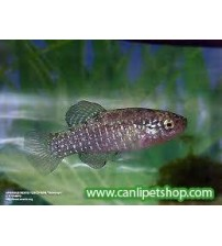 Aphanius mento 1 Ad Dişi 2-4 Cm Killi Fish