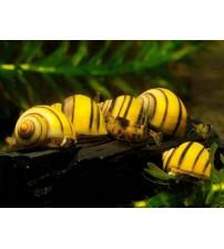 Zebra Elma Salyangozu (Asolene Spixi Snail) 2 Adet Nohut iriliği
