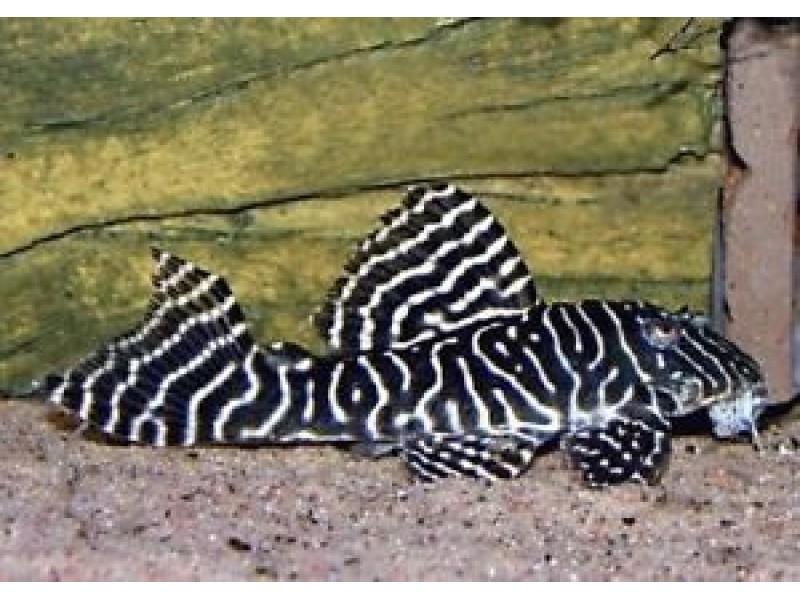 Vatoz Cüce L333 (Hypancistrus sp.King Tiger) 3-4 Cm 3 Ad