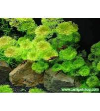 Cabomba Caroliniana 10 kök tavsiye bitki