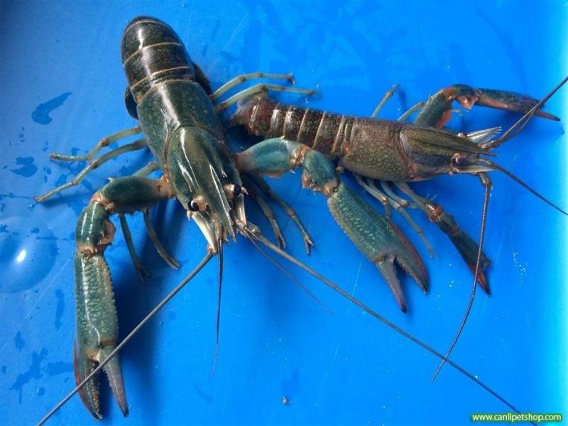 "Kerevit ""Cherax quadricarinatus"" 1Erkek 1 Dişi  5-8 Cm"