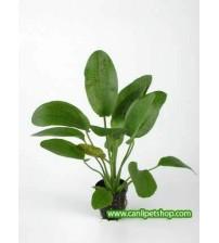 Echinodorus - Green Ozelot 1 Ad