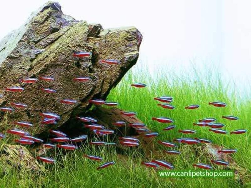 Parvula 1 Buket Zemin bitkisi 50-60 Kök