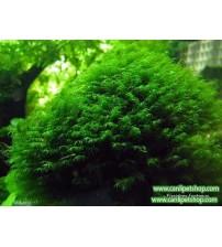 Moss Fissidens Fontanus  1 Pkt