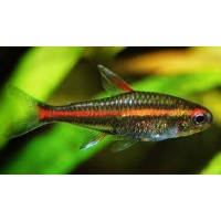 Günışığı Tetra  Sürü Balığı 1 Ad 3-4 Cm