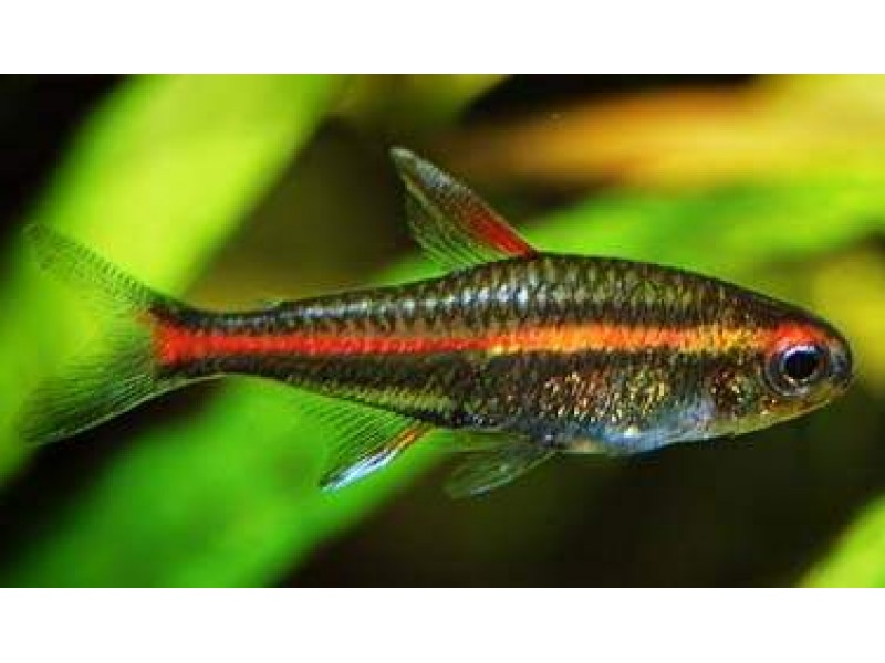 Tetra Günışığı ( Glowlight Tetra ) Sürü Balığı 1 Ad 3-4 Cm