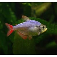 Kolombia Tetra  Sürü Balığı 1 Ad 3-4 Cm