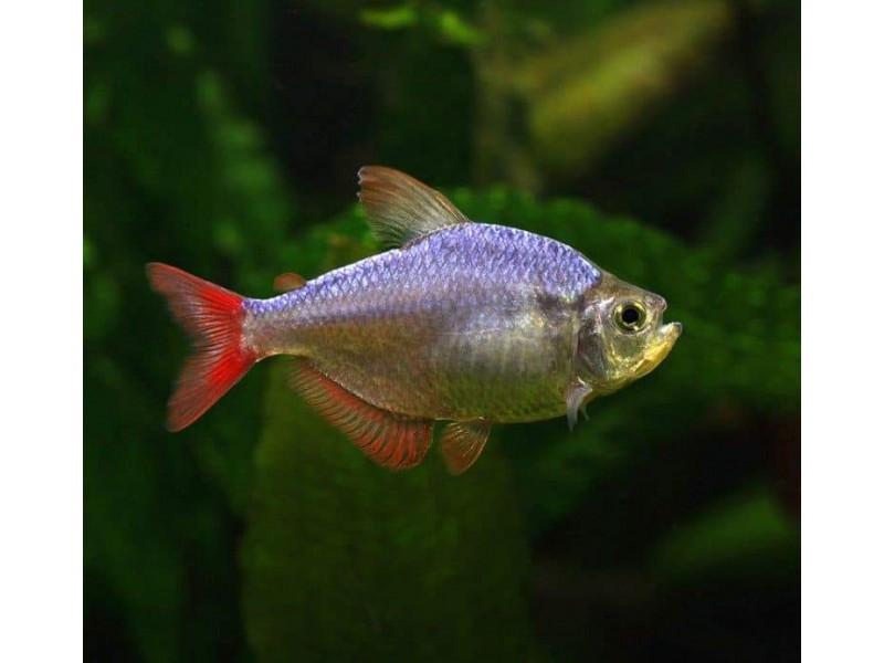 Tetra Kolombia Sürü Balığı 1 Ad 3-4 Cm