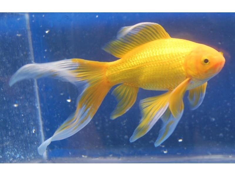 Japon Balığı YELLOW  1 ad 4 Cm Civarı NADİR TÜR