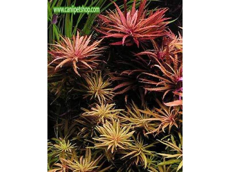 Limnophila Aromatica 5 kök