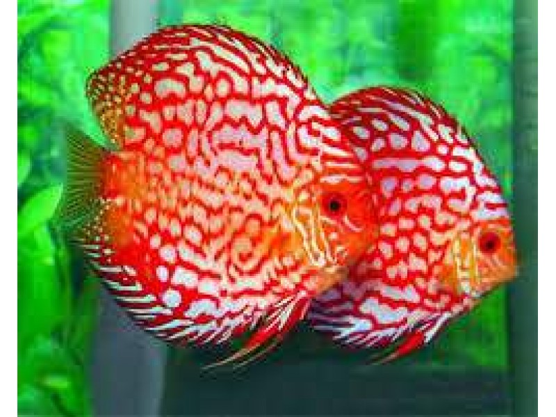 Red Pigeon Blood Discus 10 cm