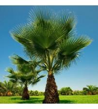 Palmiye Ağacı Fidanı 30-50 cm 1 Adet