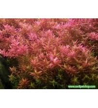 Rotala rotundifolia 20 kök