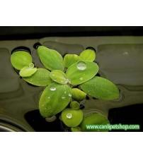 Limnobium laevigatum 5 kök Su üstü bitkisi