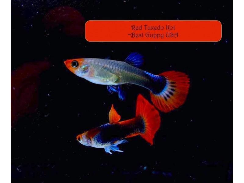 Lepistes  Koi Red Tuxedo 1 Ad Dişi 3-4 Cm