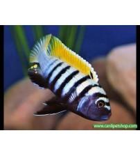 Afra Jalo Reef 1 Ad 3-4 Cm