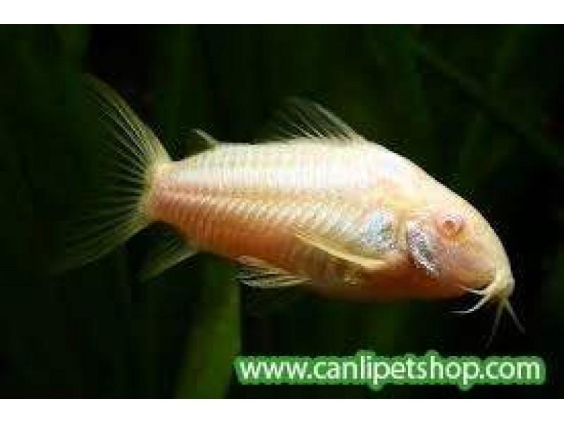 Çöpçü Albino 1 Adet Yetişkin 7-8 Cm