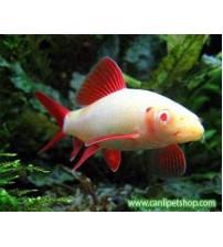 Frenatus Albino 1 Ad 3-5 Cm