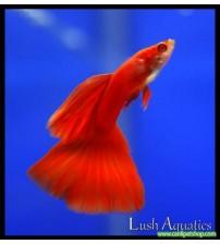 Lepistes  Albino Full Red 1 Ad Erkek 3-4 Cm