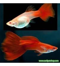Lepistes  Albino Full Red 1 Ad Dişi 3-4 Cm