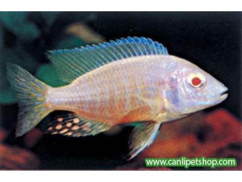 imparator Albino Ciklet 1 Adet 6-7 cm