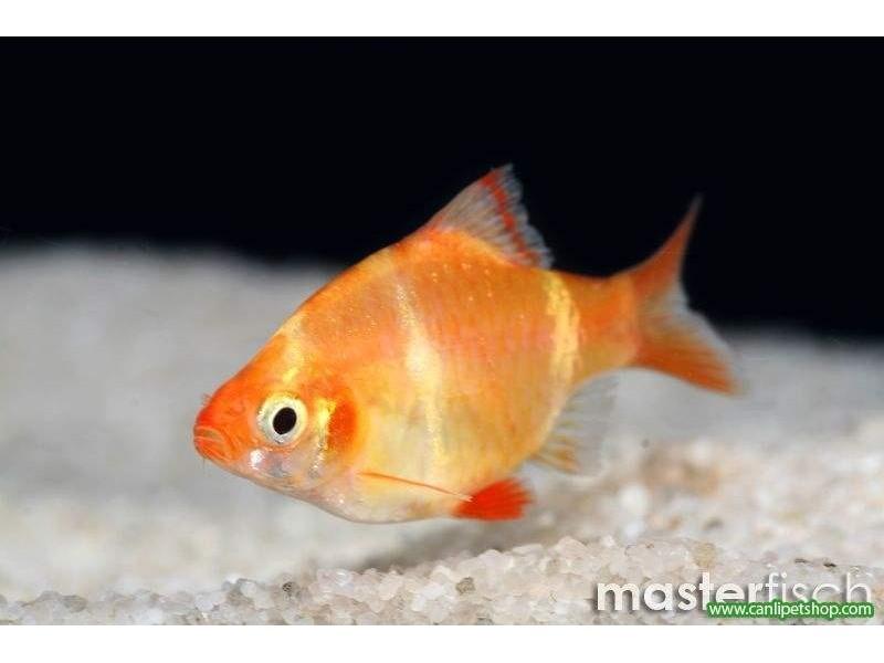 Tetrazon Albino 1 Adet 3-4 Cm