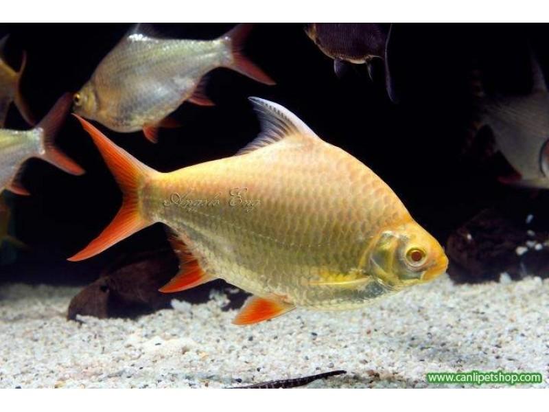 Tinfoil Albino 1 Adet 4-5 Cm