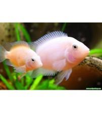 Zebra Ciklet Albino Yetişkin 1 Çift 7-8 CM