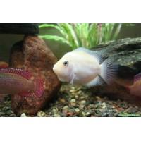 Zebra Ciklet Albino Yetişkin 1 Ad 7-9 Cm