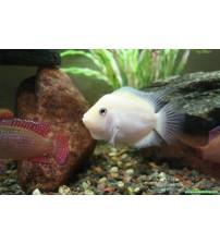 Zebra Ciklet Albino 1 Ad 5-6 Cm