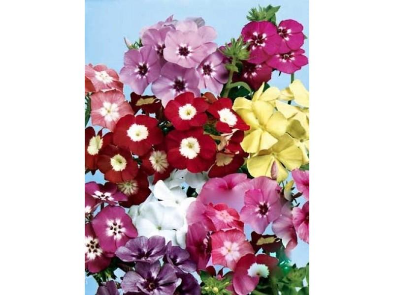 Alev Çiçeği Tohumu (34 tohum)