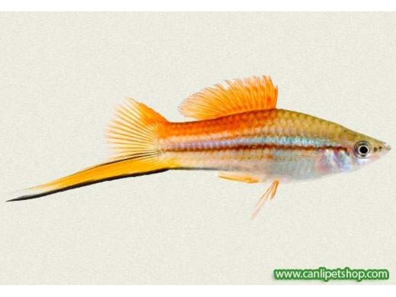 Kılıç Kuyruk Balığı Ananas 1 Adet 3-4 Cm